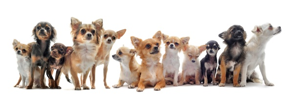 Hollywood Chihuahua Com Imagens