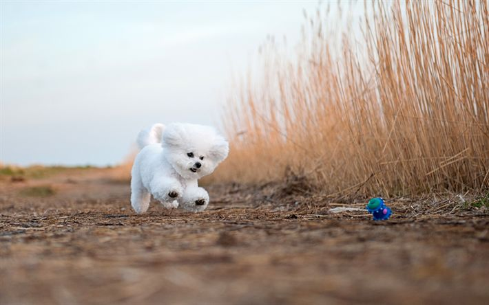 Download wallpapers Bichon Frise, fluffy white dog, decorative dogs, pets, cute dogs