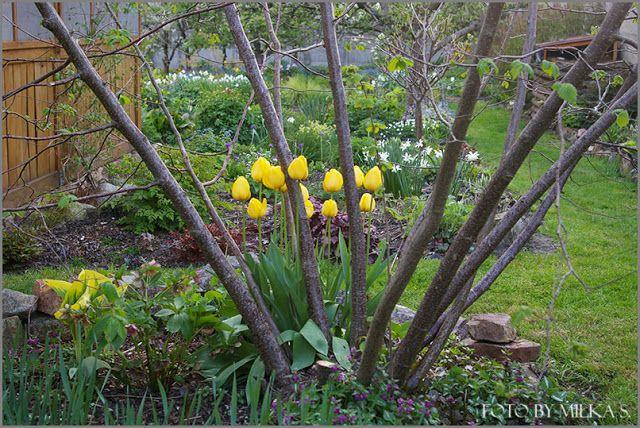 Kolory ogrodu.: Żółte lampiony.