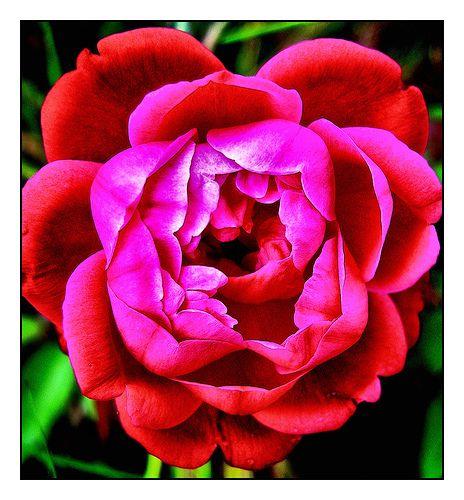 Maui's Flower: Pink Lokelani.  Maui state flower