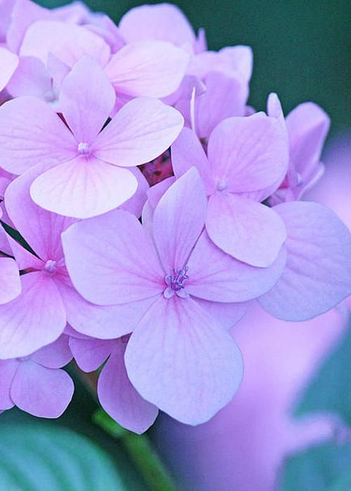 Hydrangeas by Becky Lodes