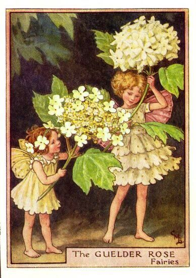 The Guelder Rose Fairy from Flower Fairies of the Trees by Cicely Mary Barker