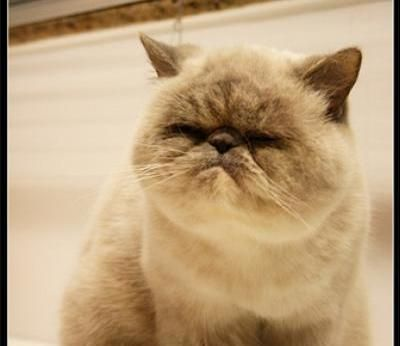 Exotic Shorthair Cats- I want a whole family of smoosh-faced animals.: