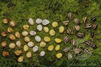 Banded Snail: Genetic Polymorphism (Cepaea Nemoralis), Scotland Stock Photo Image