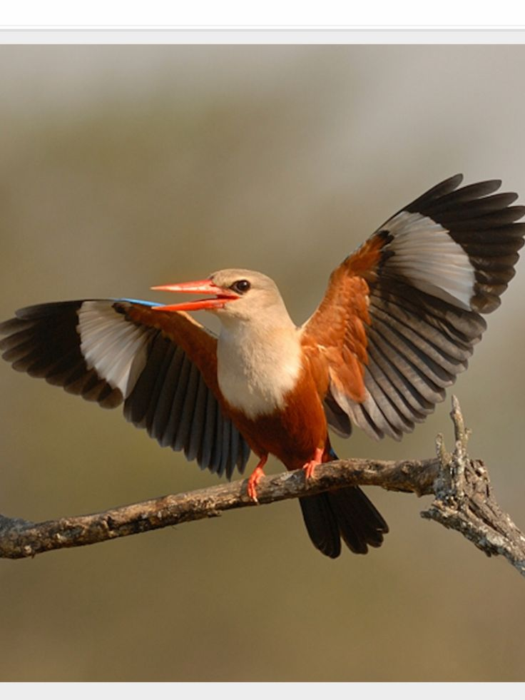Grey-headed Kingfisher: wide distribution from the Cape Verde Islands off the NW coast of AF to Mauritania/ Senegal/ Gambia E to Ethiopia/ Somalia/ S Arabia & S to ZA | (c) Herman ven der Hart, nationalgeographic.com