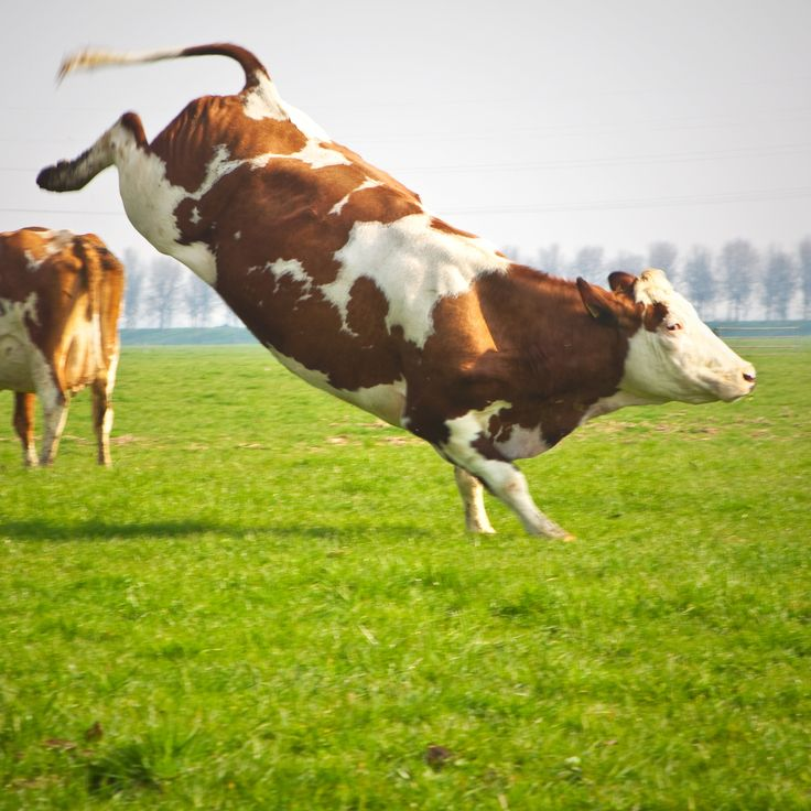 91 best images about Dutch cows, Hollandse koeien on ...