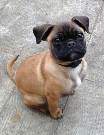 Pug and Boxer | PUG MIXED BREEDS | Pinterest | Boxers and Boxer Mix