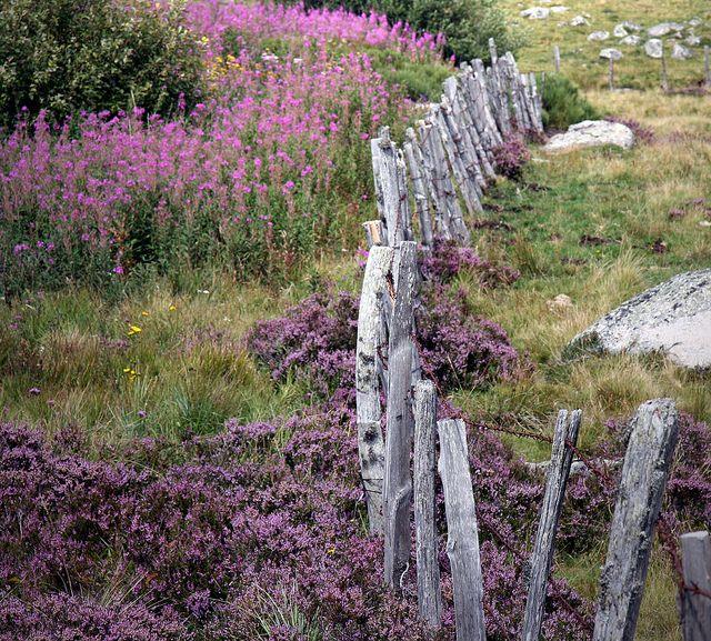 Aubrac- I love old school fences like this one..