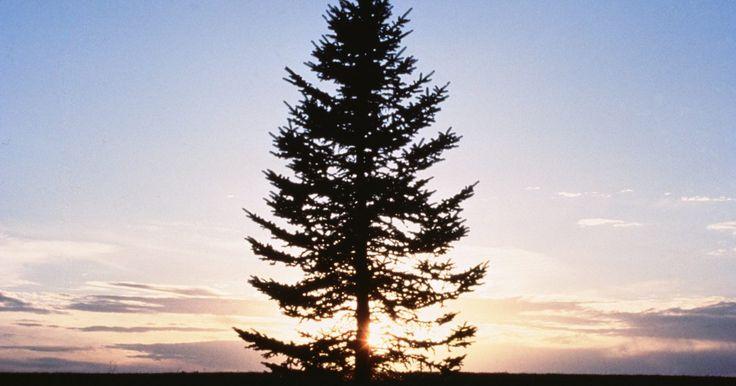 Consejos para la poda del árbol de pino. La mayoría de los árboles de hoja perenne, suele podarse cuando ya ha finalizado su período de crecimiento el cual abarca desde finales de verano hasta otoño. Sin embargo, debido a su patrón de crecimiento distintivo, es mejor podar a los árboles de pino a finales de la primavera o a principios del verano. Aún así, se les debe brindar todo el ...
