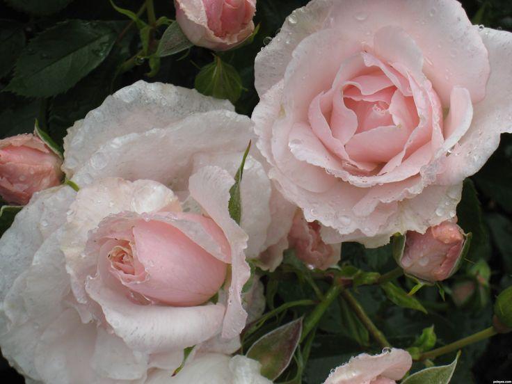 My Wedding Roses... Pale Pink Iceberg Roses.