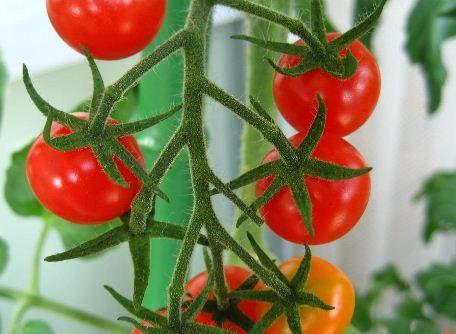 ミニトマト(プチトマト)の育て方と栽培のコツ