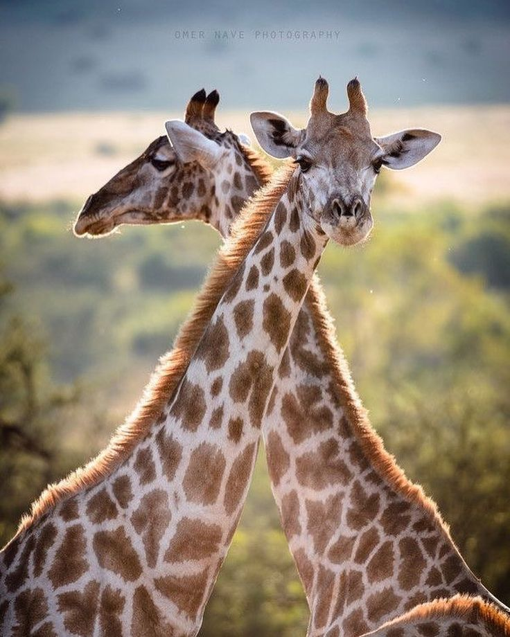 N. Laryngeus Recurrens Giraffe 1999 best giraf...