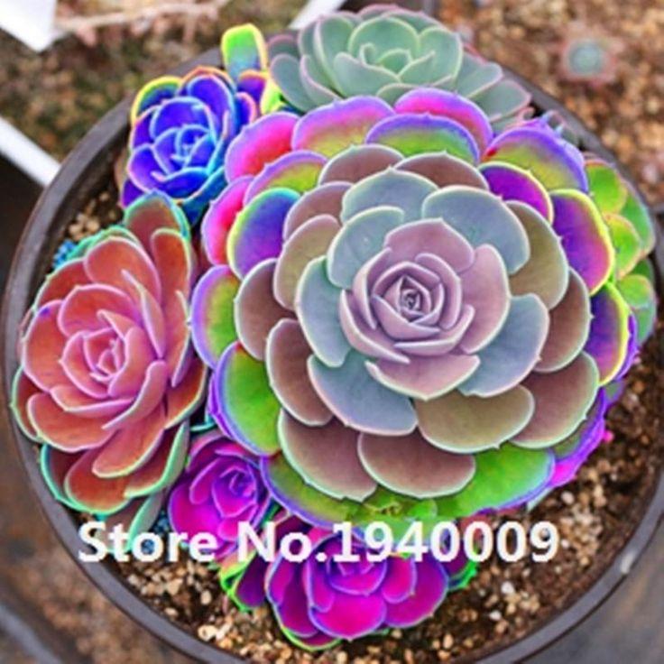 50seeds/pack Mix Succulent seeds lotus Lithops Pseudotruncatella Bonsai plants Seeds for home & garden Flower pots planters
