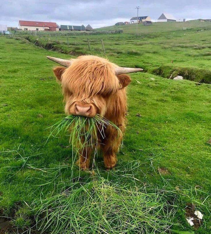 Baby yak? Fluffy cows, Cute animal photos, Cute cows