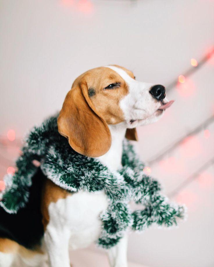 📽 ᴘʜoᴛᴏɢʀᴀᴘʜᴇʀ & vɪᴅᴇᴏɢʀᴀᴘʜᴇʀ  🐶 ʟᴏvᴇ ᴍʏ ᴅᴏɢ #chet_beagle  🚩 ᴍᴏscᴏw ↟ 💌 co. : ᴅɪʀᴇcᴛ   ᴋʀɪsᴛʏ-wʜɪᴛᴇ@ᴍᴀɪʟ.ʀᴜ #beagle #beagles #beaglesofinstagram #beaglelove #justbeagles #beaglemania #beaglelife #ilovemydog #puppyface #инстаграмзверят #WeeklyFluff #dogsofinstagram #houndsbazaar #topdogphoto #bestwoof #dogs_of_world #doglove #dogsofinstaworld #instapet #puppyoftheday #бигль #mydogiscutiest #aplacetolovedog #ohmydog #beagleloveit #worldofcutepets #ilove_simplebeyond #houndandlife