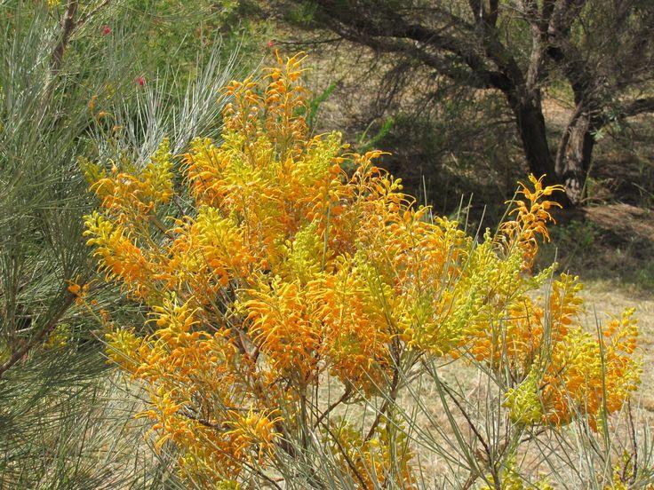 Australian native wildflowers