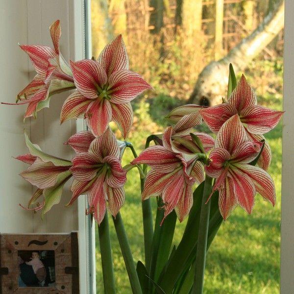 203 best amaryllis hippeastrum images on pinterest farben pflanzen und iris. Black Bedroom Furniture Sets. Home Design Ideas