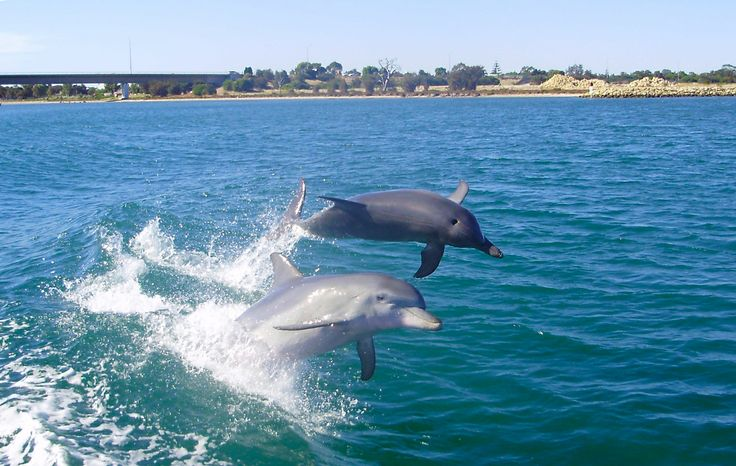 Happiness is two dolphin buddies wake surfing! #dolphin #watching #cruise