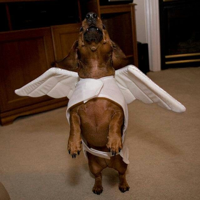 Hark the Herald Doxie Sings.... via Gustav's Dachshund World and Friends