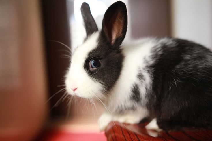 Coniglio, Animali Domestici, Animale