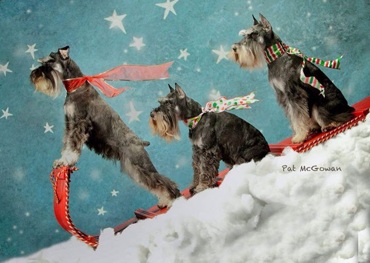 schnauzers on a sled
