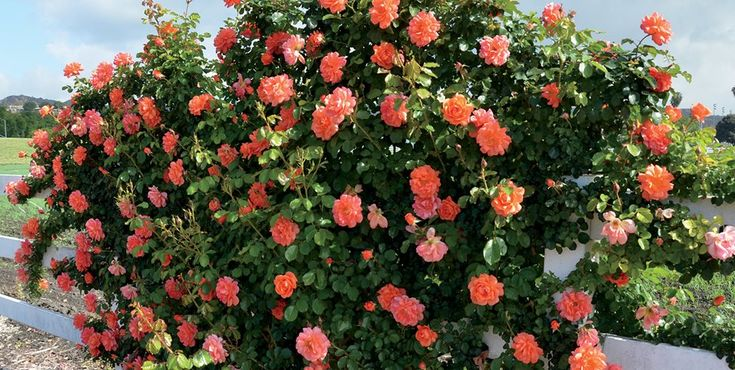 Rose bush care