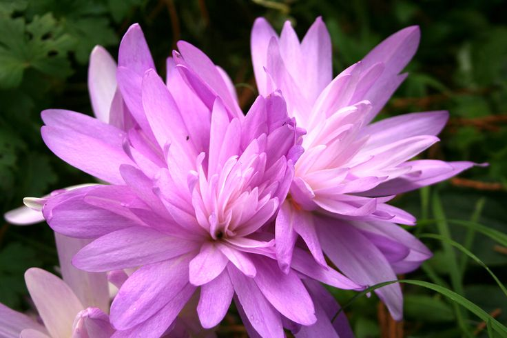 Garden Design Academy plant of the week 40-2013 is Colchicum Waterlily. We grow this bulb amongst shade loving shrubs and herbaceous plants, where it adds colour and interest to the autumn scene. Colchicums are natives of Europe and grow in woodland ditches close to our home. This double flowered form is a real  joy and worth planting in quantity if you can afford it!