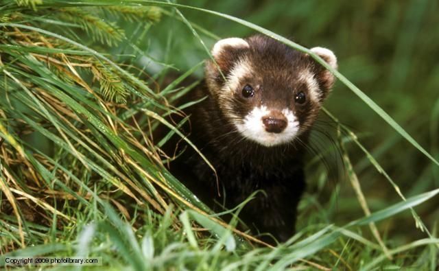 A European polecat - Polecats are solitary and predominantly nocturnal weasel-like animals, where the males are quite obviously larger and heavier than the females. They produce a strong musky scent from anal glands when threatened, and this is also used to mark their territories. These streamlined predators can lock their jaws together so tightly it can be near impossible to prise them apart. Ferrets are the domesticated descendants of the polecat. BBC Nature