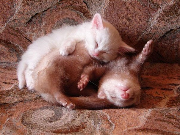 A kitten and a ferret napping.