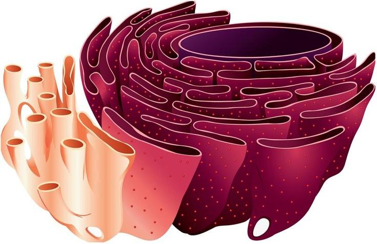 12++ Animal cell golgi apparatus ideas in 2021