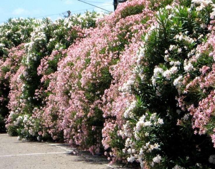 haie fleurie luxuriante de laurier-cerise blanc toxique