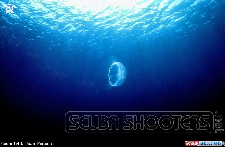 Moon Jellyfish in Grand Cayman -  Cayman Islands