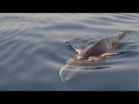 Rare Fin-Whale Visit in the Saronic Gulf in Greece