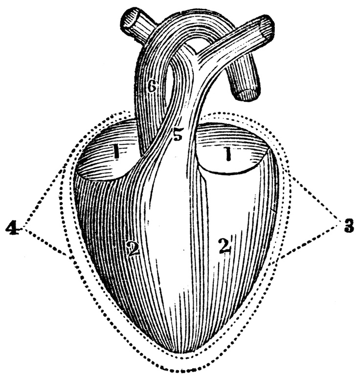 best 25  diagram of the heart ideas on pinterest