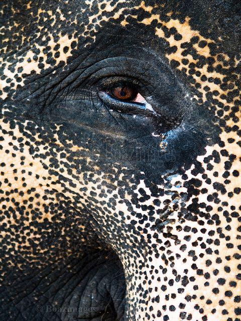 I got my eye on you / gentlethrills:      ELEPHANT by BoazImages on Flickr.