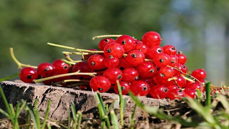RIBES: storia, curiosità e benefici per la #salute.  La scheda settimanale #frutta di SANOMANGIARE con la ricetta delle #dietisteDOC di Bologna #sanomangiareit