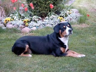 Entlebucher Sennenhund - Entlebucher Sennenhund, Schweizer Sennenhund, Treibhund, Hütehund, Wachhund, Hund, Hunde, Kurzhaar