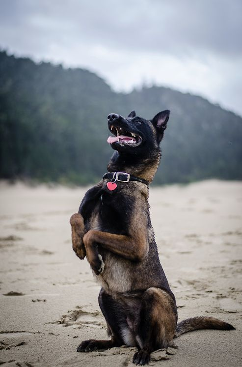 Belgian Malinois my dog does this too :)