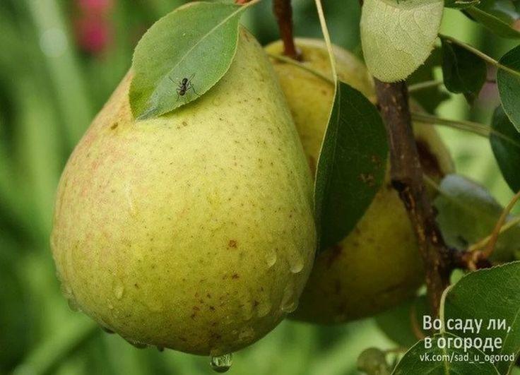 КАК ОМОЛОДИТЬ ГРУШУ | Дачный сад и огород