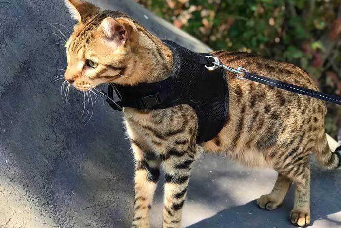 Gato Savannah Todo Sobre El Gato Más Alto Del Mundo Feelcats Cama De Perro Diy Arnes Para Gatos Gatos