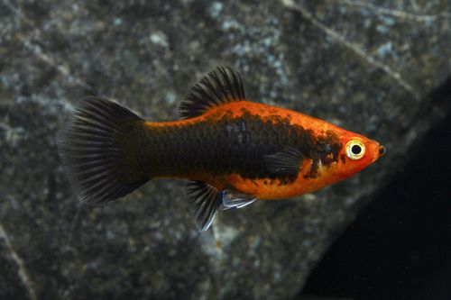 Red Wag Tuxedo Platy