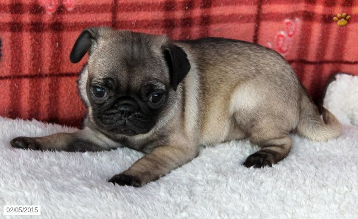 Pug Puppy for Sale in Pennsylvania Puppies for sale, Pug
