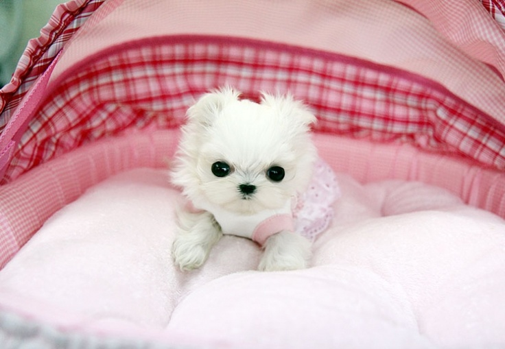 22 best images about teacup maltese on pinterest teacup