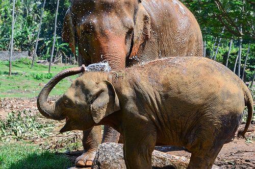 Joy - Pinnawala Elephant Orphanage, Sri Lanka