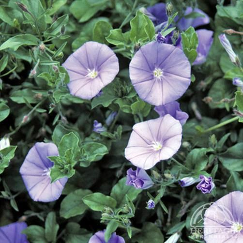 Plant Profile for Convolvulus sabatius - Ground Morning Glory Perennial