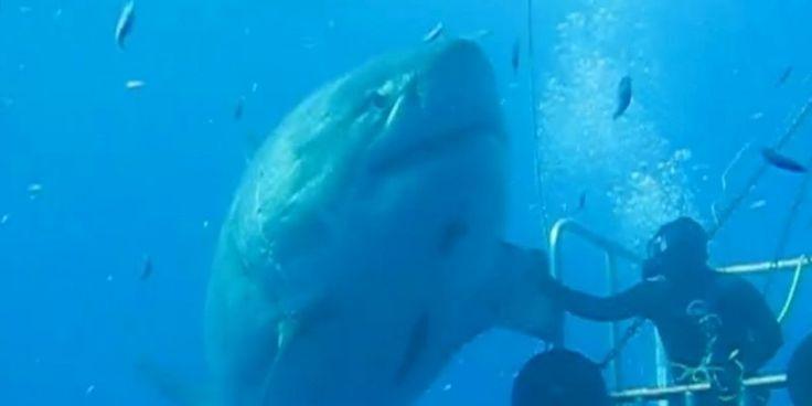 Vidéo : le plus gros requin blanc du monde filmé au large du Mexique