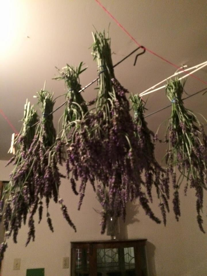 Bunches of Drying Lavender