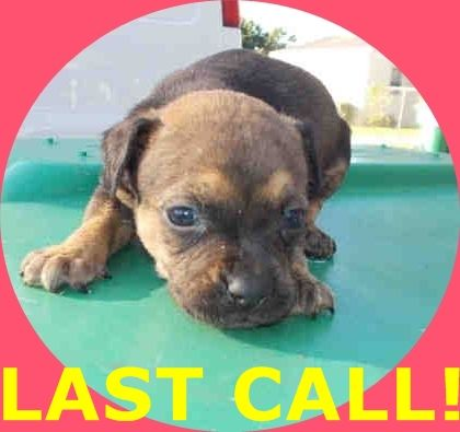 LUNA (A1674706) I am a female black and tan Terrier mix. The shelter staff think I am about 4 weeks old. I was found as a stray and I may be available for adoption on 01/23/2015. — hier: Miami Dade County Animal Services. https://www.facebook.com/urgentdogsofmiami/photos/pb.191859757515102.-2207520000.1422133713./915609801806757/?type=3&theater