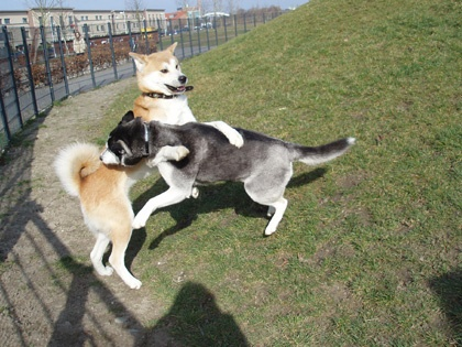 This is as close of a picture as I could find online that were similar to my Akita's. Dakota and Ki Ki Moto.