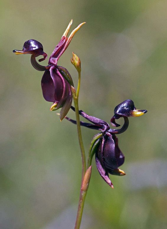 High Quality .100pcs For Home & Garden Flying Duck Orchid Flower Seeds China Rare Flower Seeds Beautiful Orchids Free Shipping